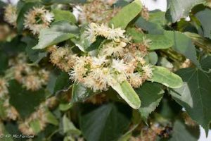American Basswood (Tilia americana) flowers