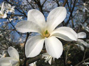 gluosnialapė magnolija