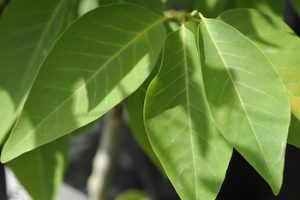 gluosnialapė magnolija iv