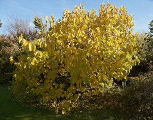 Morus nigra  : Zwarte moerbei, blad in herfstkleur
