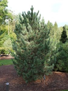 Pinus cembra 'Glauca', Blue Swiss Stone Pine, H03027, PLTD 2003