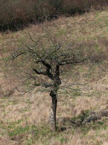 miskine obelis ii