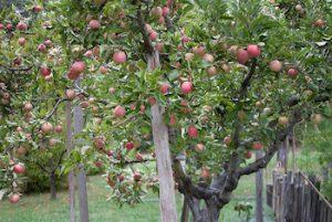 naminė obelis vaisiai