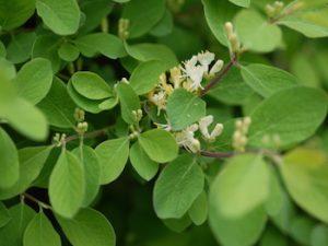 Lonicera xylosteum 'Emerald Mound' (aka 'Nana')(fly honeysuckle) u2
