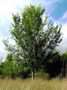 paprastasis skirpstas medis visas