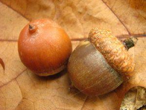 raudonasis-azuolas-quercus-rubra-giles