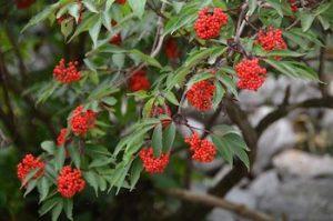 Sambucus racemosa, Roter Holunder, Roter Holler, Trauben-Holunder, Berg-Holunder