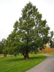 tikroji metasekvoja medis