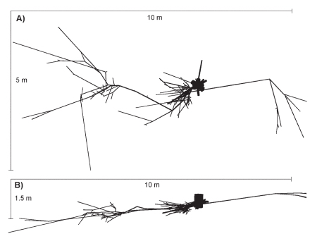 Karpotojo beržo šaknų sistema. (Kalliokoski T. ir kt. Silva Fennica, 2008 m.).