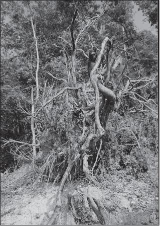 Paprastojo ąžuolo šaknų sistema (Čermák P., Fér F. Journal of Forest Science, 2007 m.).