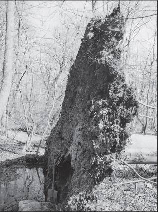 Buko šaknų sistema (Čermák P., Fér F. Journal of Forest Science, 2007 m.).